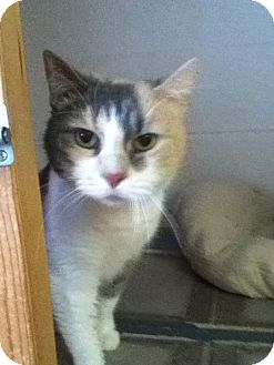 Domestic Shorthair Cat for adoption in Shippenville, Pennsylvania - Sweetheart