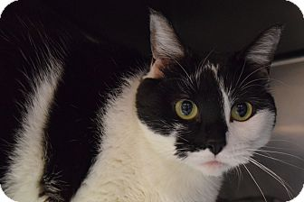 Domestic Shorthair Cat for adoption in Bay Shore, New York - Astrid