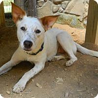 Adopt A Pet :: Suzy Q - Brattleboro, VT