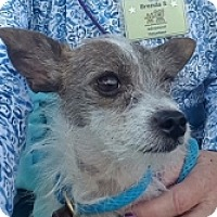 Chihuahua/Cairn Terrier Mix Dog for adoption in Mesa, Arizona - Daisy