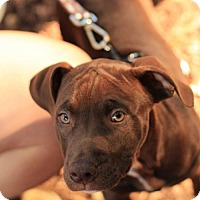 Labrador Retriever/Pit Bull Terrier Mix Puppy for adoption in Morganville, New Jersey - Tallin