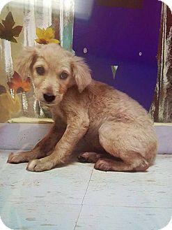 Golden Retriever/Labrador Retriever Mix Dog for adoption in New York, New York - Jenna