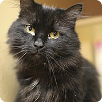 Adopt A Pet :: Priscella Plumetail: affectionate, only 3 - Marlborough, MA
