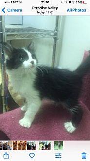 Domestic Mediumhair Kitten for adoption in Fountain Hills, Arizona - DIDDLE