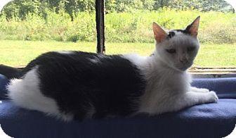 Devon Rex Cat for adoption in Washington, Virginia - Bogey