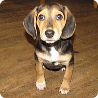 Beagle Mix Puppy for adoption in Mechanicsburg, Pennsylvania - Moriarty