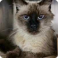 Adopt A Pet :: Zarya Siam - Woodland Park, NJ