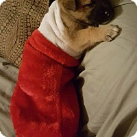 Adopt A Pet :: COSTELLO - Winnipeg, MB