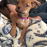 Adopt A Pet :: Midge - Harrisonburg, VA
