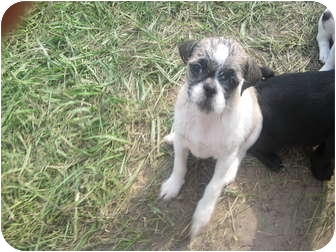Pug/Shih Tzu Mix Puppy for adoption in Wauseon, Ohio - Pug/Shih tzu Puppies