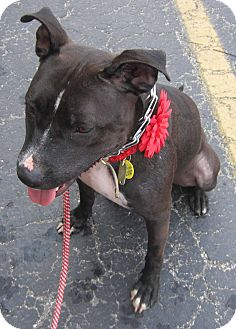 American Pit Bull Terrier Dog for adoption in Cincinnati, Ohio - Missy