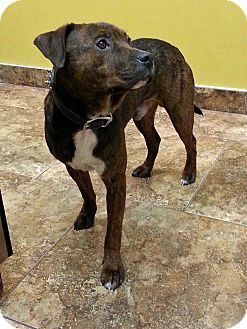Pit Bull Terrier/German Shepherd Dog Mix Puppy for adoption in Cedar Rapids, Iowa - Davey