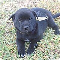 Adopt A Pet :: Dedra - New Boston, NH