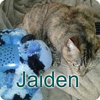 Adopt A Pet :: Jaiden - declawed senior sib - Rochester, NY