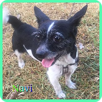 Chihuahua/Terrier (Unknown Type, Small) Mix Dog for adoption in Hollywood, Florida - Navi
