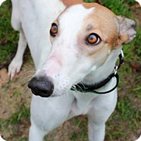 Adopt A Pet :: Macey - Randleman, NC