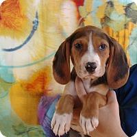 Adopt A Pet :: Phantom - Oviedo, FL