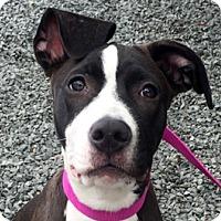 Adopt A Pet :: Eva - Framingham, MA