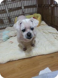 Pekingese Mix Dog for adoption in Oakton, Virginia - Breeze
