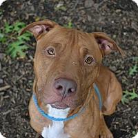 Adopt A Pet :: Barack - Brookhaven, NY
