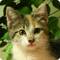 Domestic Shorthair Kitten for adoption in Hastings, Nebraska - Jocelyn