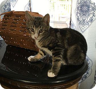 Domestic Shorthair Kitten for adoption in Wayne, New Jersey - Cornell