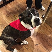 Adopt A Pet :: Vivian-Dog, Cat, Kid Friendly Gentle Giant - Chicago, IL