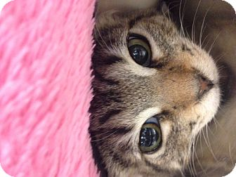 Domestic Shorthair Kitten for adoption in San Leandro, California - Mike