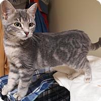 Domestic Shorthair Kitten for adoption in Buhl, Idaho - Alberta