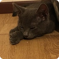 Domestic Shorthair Kitten for adoption in Rochester Hills, Michigan - Callie