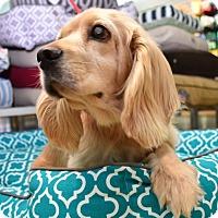 Adopt A Pet :: Sarah - Austin, TX