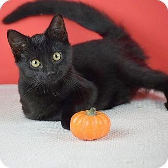 Domestic Shorthair Kitten for adoption in Columbia, Illinois - Hocus Pocus
