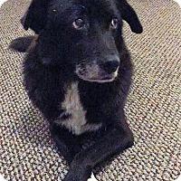 Border Collie Mix Dog for adoption in Alpharetta, Georgia - Paulina