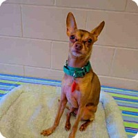 Miniature Pinscher/Chihuahua Mix Dog for adoption in Springfield, Massachusetts - RICO