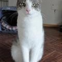 Domestic Shorthair Cat for adoption in Stuart, Virginia - Cognac