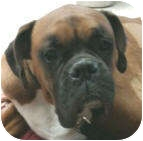 Boxer Dog for adoption in Sunderland, Massachusetts - Tyson