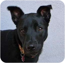 Labrador Retriever/Rottweiler Mix Dog for adoption in Santa Monica, California - Cricket