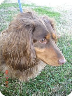 Dachshund Dog for adoption in Stilwell, Oklahoma - Frodo