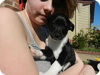 Rat Terrier Mix Puppy for adoption in South Jersey, New Jersey - Lily