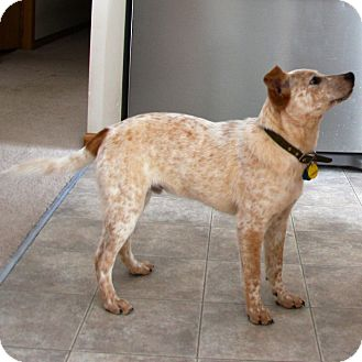 Australian Cattle Dog Mix Puppy for adoption in Delano, Minnesota - Paxton