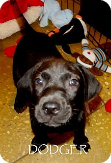 Labrador Retriever Mix Puppy for adoption in Silsbee, Texas - Dodger