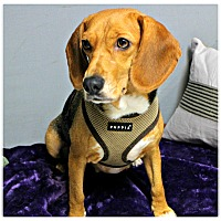 Adopt A Pet :: Daisy - Forked River, NJ