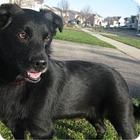 Adopt A Pet :: Boomer - Schaumburg, IL