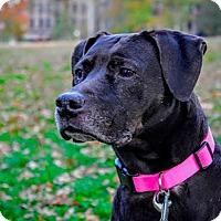 Adopt A Pet :: Ronda - Manhattan, NY