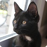 Adopt A Pet :: Poutine - Troy, MI
