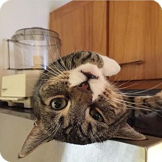 Domestic Shorthair Cat for adoption in Brooklyn, New York - Sunny
