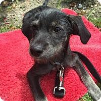 Adopt A Pet :: Ponyboy-Adopted! - Detroit, MI