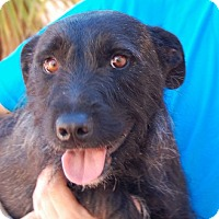Scottie, Scottish Terrier/Terrier (Unknown Type, Medium) Mix Dog for adoption in Las Vegas, Nevada - Alastair