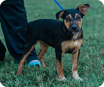 Australian Shepherd/Doberman Pinscher Mix Puppy for adoption in Seneca, South Carolina - Sam $250