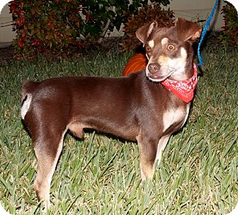 Chihuahua/Dachshund Mix Dog for adoption in Calgary, Alberta - Herschel Walker